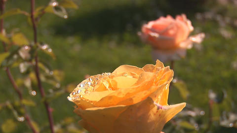 yellow rose 2 Stock Video Footage
