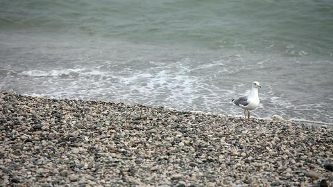 Wondering seagull on rocky stones beach Stock Video Footage