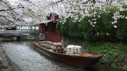 桜の咲く高瀬川の一之船入 影片素材