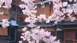 桜のさく祇園白川の家並み Footage