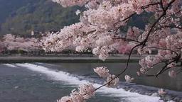 桜の嵐山と桂川 Footage