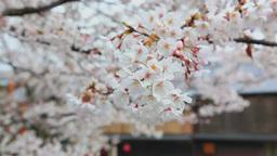 サクラの咲く祇園の家並み Footage