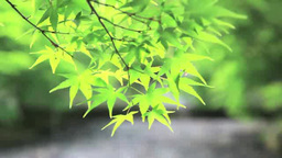 Fresh maple greenery Live Action