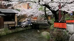 桜の咲く祇園 Footage
