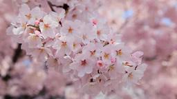 Sakura Footage
