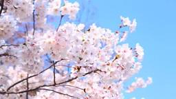 Sakura 影片素材