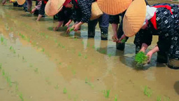 Rice planting festival of Shirakawago Footage