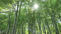 鍋倉山のブナ林と木漏れ日 Footage