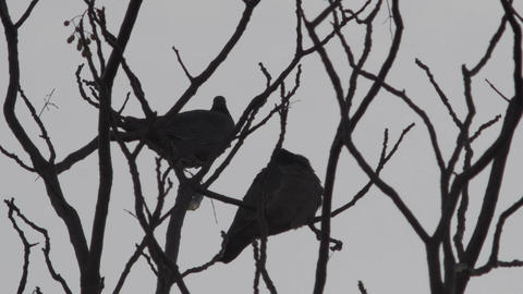 Birds On A Winter Tree stock footage