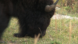 Bison grazing Close-up Footage