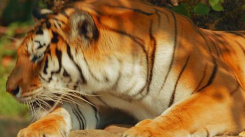 Siberian Tiger Yawning Footage