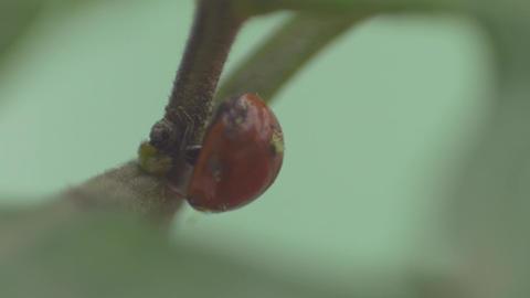 Macro of Vaquita de San Antonio/ladybird walking Live Action