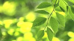 Fresh green beech leaves Footage