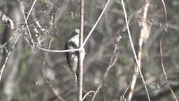 アシの茎をつつくコゲラ stock footage