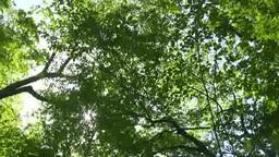 風に揺れるブナの林と木漏れ日 Footage