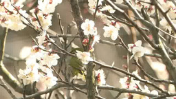 White plum blossoms and Japanese white-eye Footage