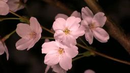 ピンク色に染まる夜桜 영상물