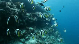 A school of Schooling bannerfish swimming in the waters of the Maldives Footage