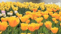 Tulip flower garden Footage