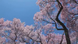 Kohigan sakura 影片素材