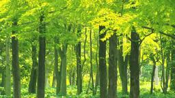 風に揺れる新緑のメタセコイアの林 Footage