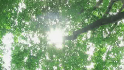 風に揺れるブナ林と木漏れ日 Footage