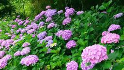 Hydrangea flowers Live Action