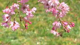 満開の紅しだれ桜 Footage