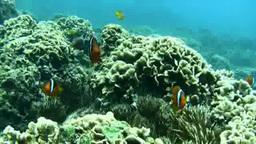 サンゴに群れる熱帯魚 stock footage