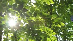風に揺れる新緑のブナの木と木漏れ日 Footage