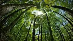 ブナ林の木漏れ日に光るブナの幼木 Footage