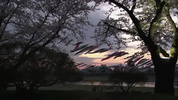 夕焼けの北上川に泳ぐ鯉のぼり ビデオ