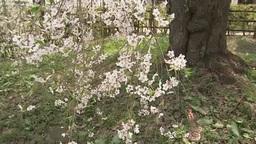 Weeping cherry tree in Kakunodate Footage