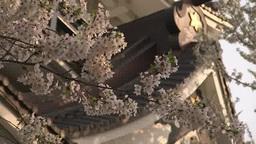 横手公園に咲く桜と横手城 Footage