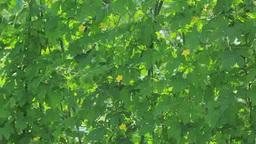 ゴーヤ栽培による緑のカーテン Footage