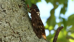 Cicada perched on a tree Footage