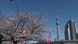 青空の東京スカイツリーと桜 Footage