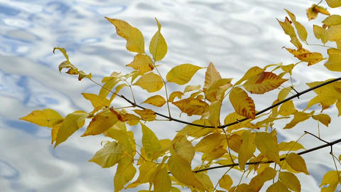 Autumn Landscape - yellow leaves against the backdrop of the pond Footage