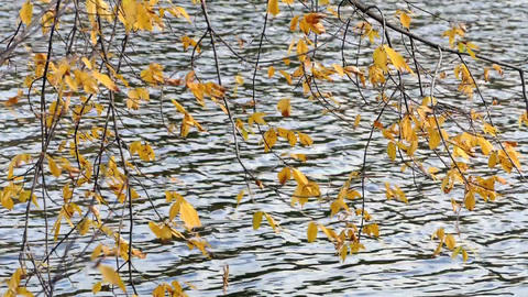 Yellow leaves and water in a pond Footage