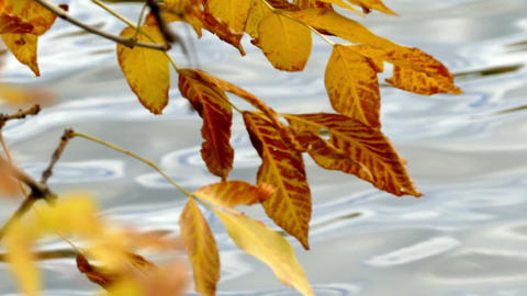 Waters shot through with yellow leaves in autumn Indian summer Footage