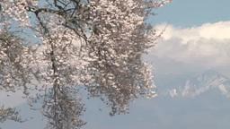 Wanizuka cherry blossoms and Yatsugatake peak Footage