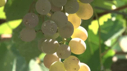 Koshu Grape stock footage
