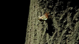 Cicada molting from its shell Live Action