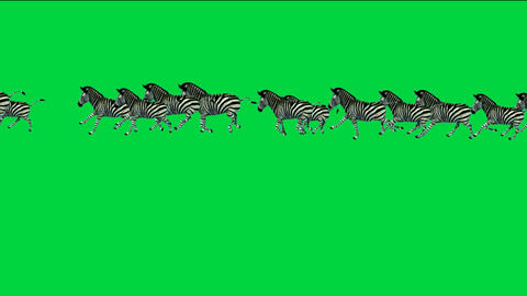 a group of zebra running with green screen Stock Video Footage