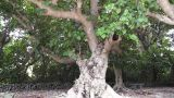Ancient Tree in Japanese Garden Footage