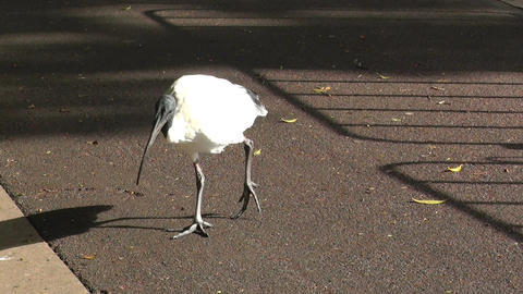 Australian White Ibis 02 60fps native slowmotion handheld Stock Video Footage
