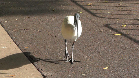 Australian White Ibis 02 60fps native slowmotion handheld Footage