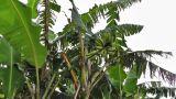 Banana Plant 02 Footage