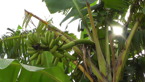 Banana Plant 04 Stock Video Footage