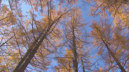Yellow colored trees in Kamikochi, Japan Footage